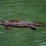 Rainforest Scuba With The Duck Billed Platypus